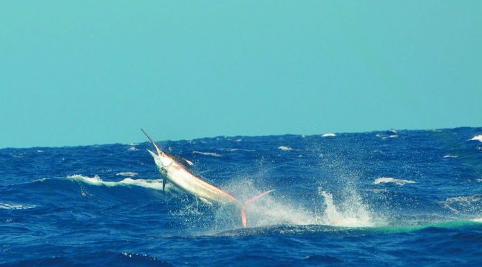 Billfish jumping out of water near Exmouth