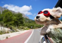 A dog, enjoying the breeze of an open window in a moving car