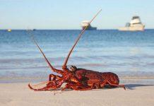 A live western rock lobster on a beach